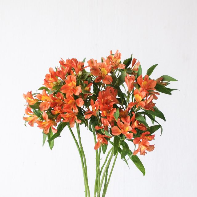 alstroemeria - orange 1