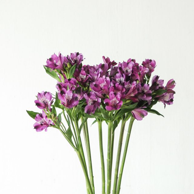 alstroemeria - purple 1