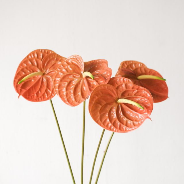 anthurium - brown 1