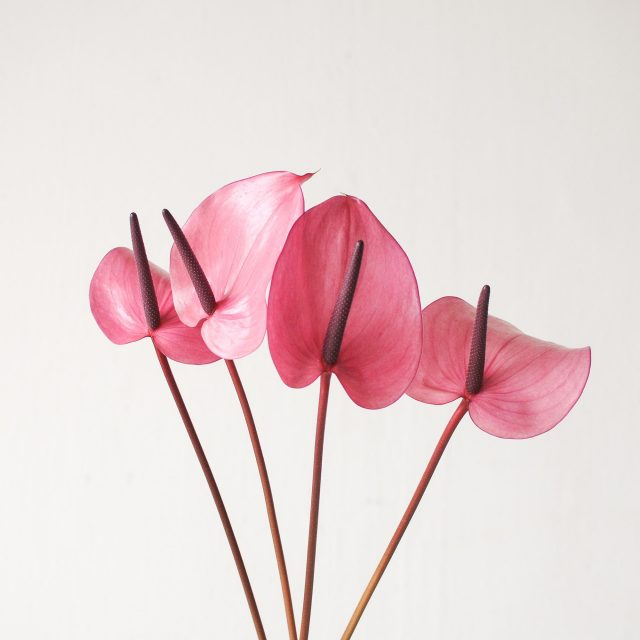 anthurium - purple 1
