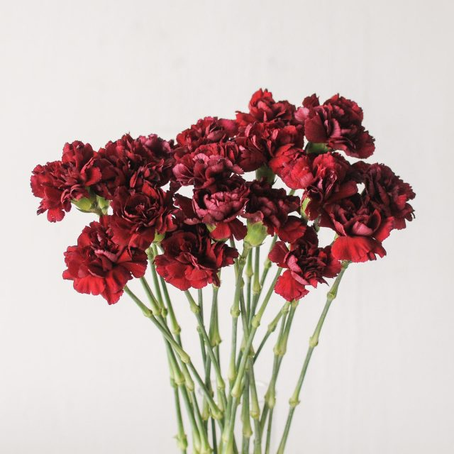 carnation - red 1