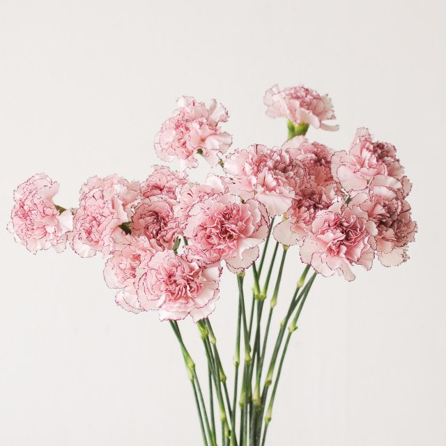 carnation - red edged 1