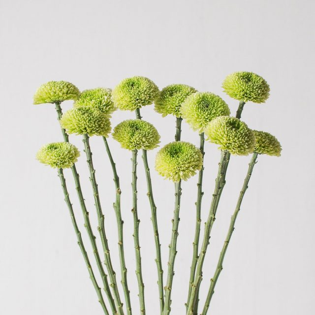 chrysanthemum pom - green 1