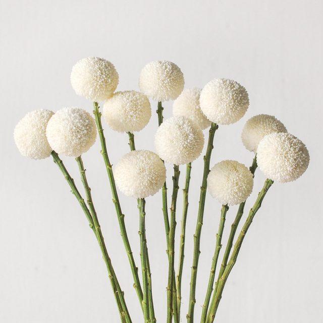 chrysanthemum pom - white 1