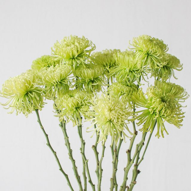 chrysanthemum spider - green 1