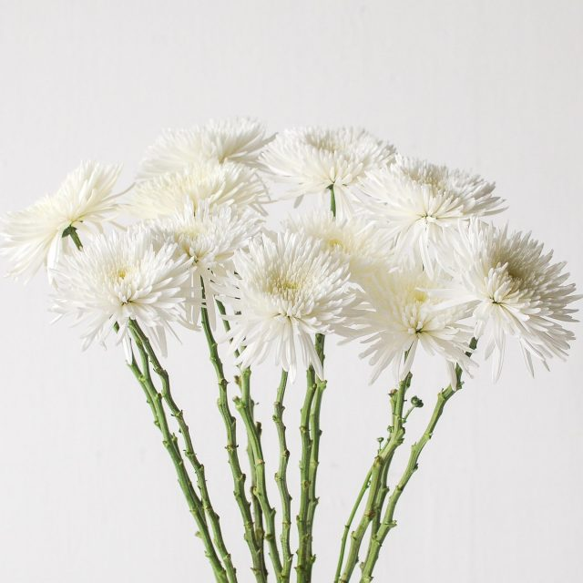 chrysanthemum spider - white 1
