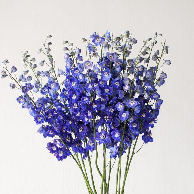 delphinium - blue 1