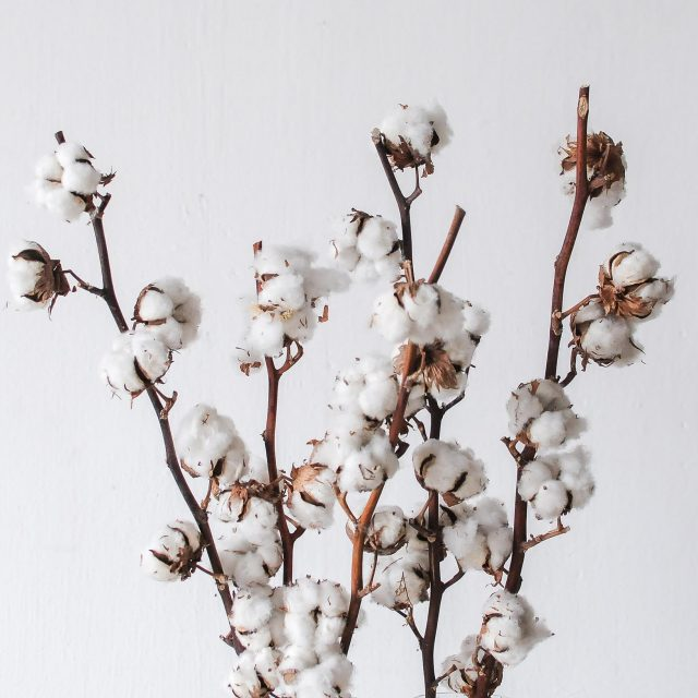 dried cotton 1-1