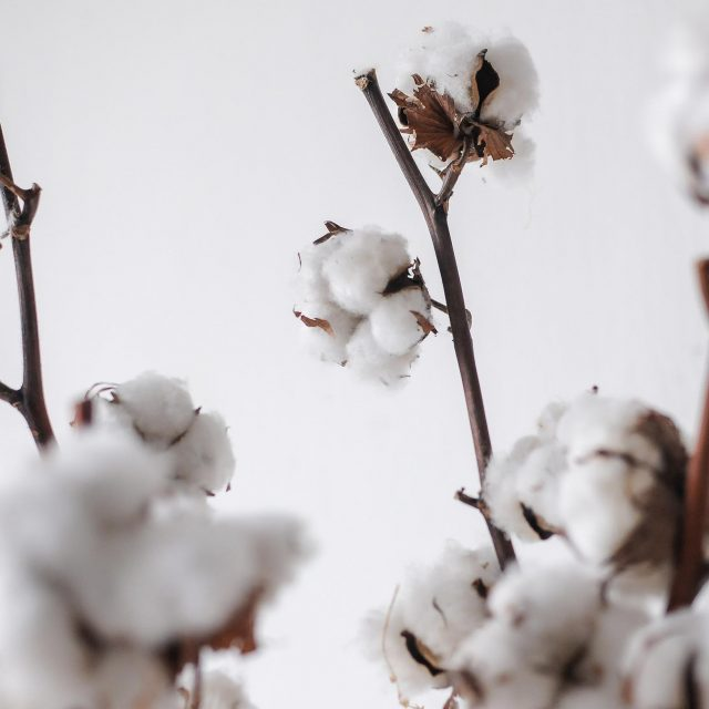 dried cotton 1-2