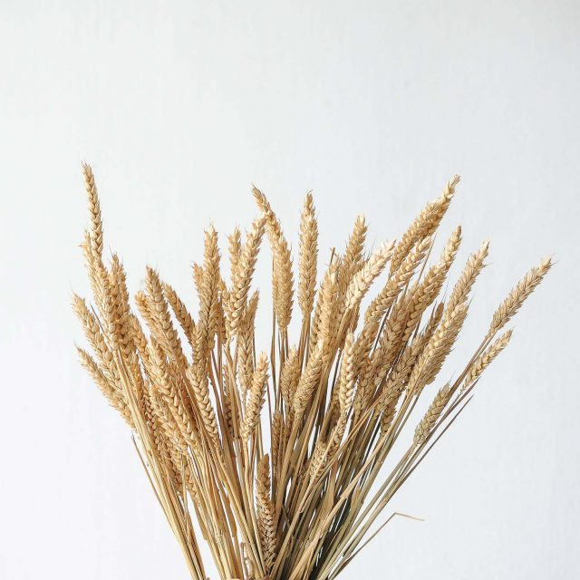 dried wheat 1-1