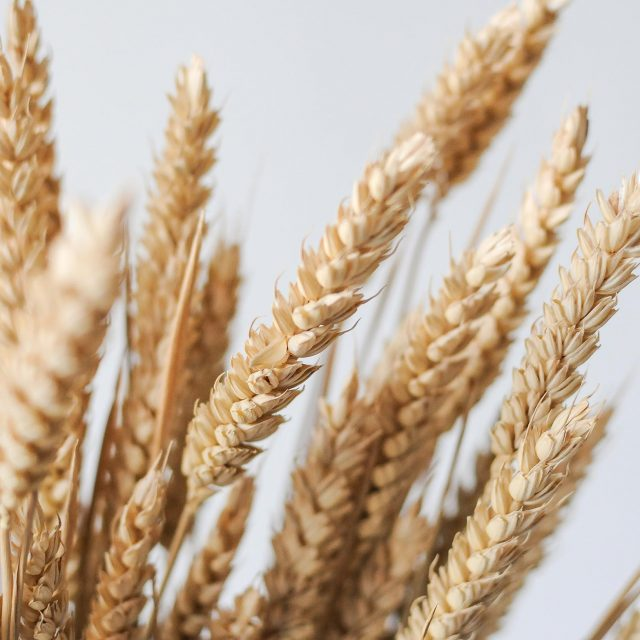 dried wheat 1-2