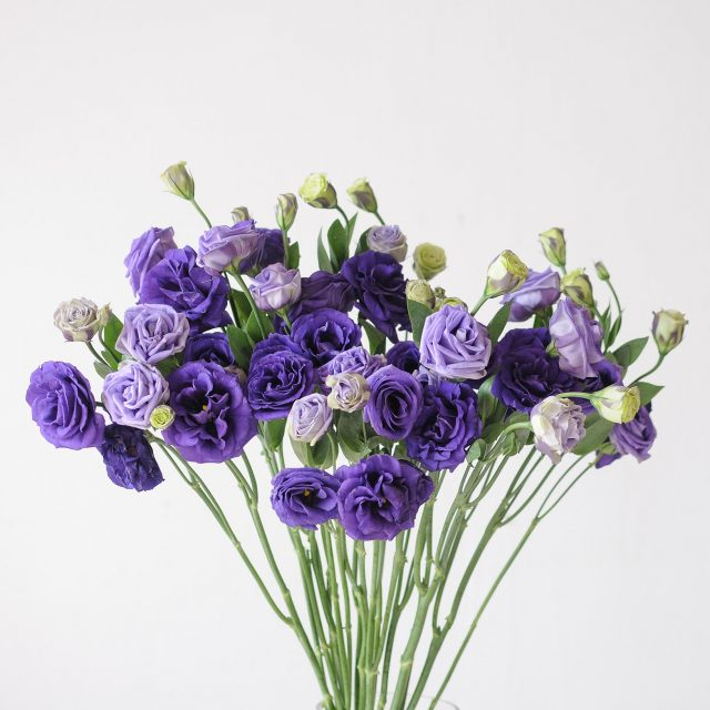 eustoma - moody purple - 1