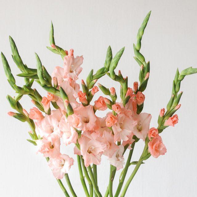 gladiolus - peach - 1