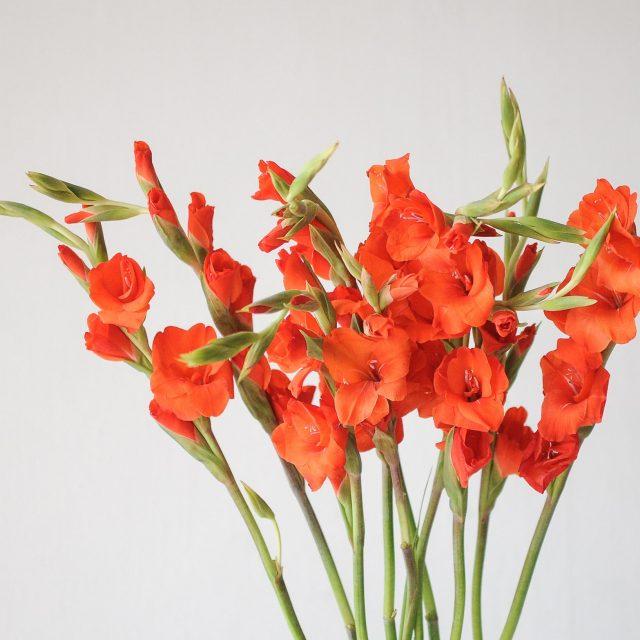 gladiolus - red - 1