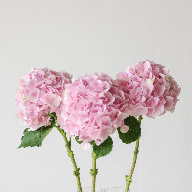 hydrangea - pink - 1