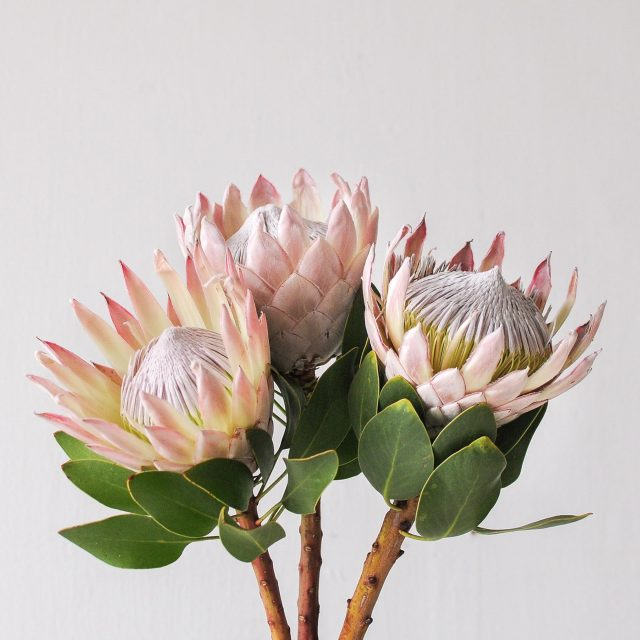 king protea - pink - 1
