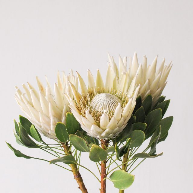 king protea - white - 1