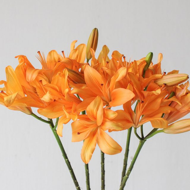 lily - mango - 1