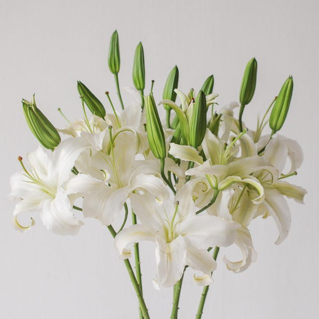 lily - white - 1