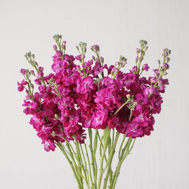matthiola - pink - 1