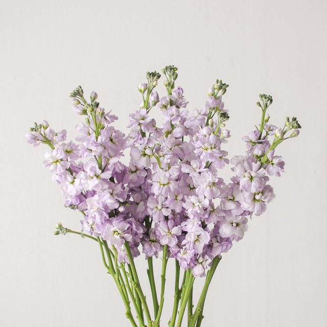 matthiola - purple - 1