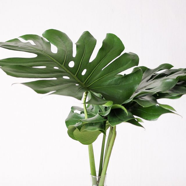 monstera - large - 1
