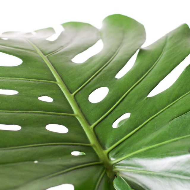 monstera - large - 2