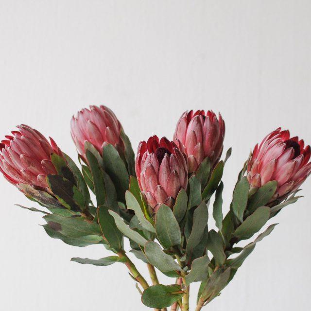 protea 1-1