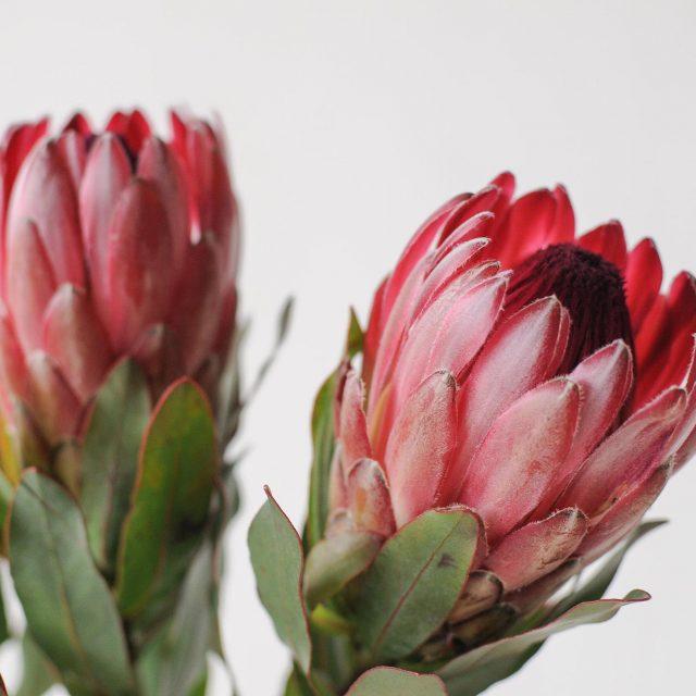 protea 1-2