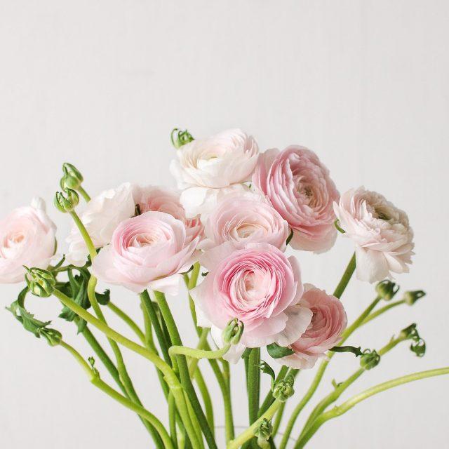 ranunculus - pink - 1