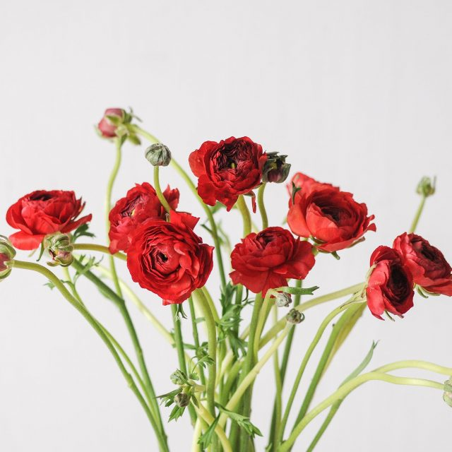 ranunculus - red - 1