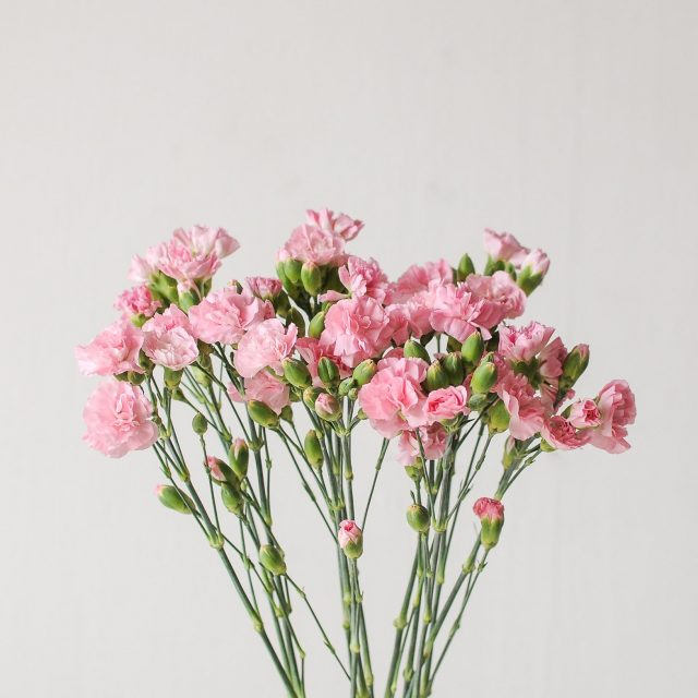 spray carnation- pink - 1