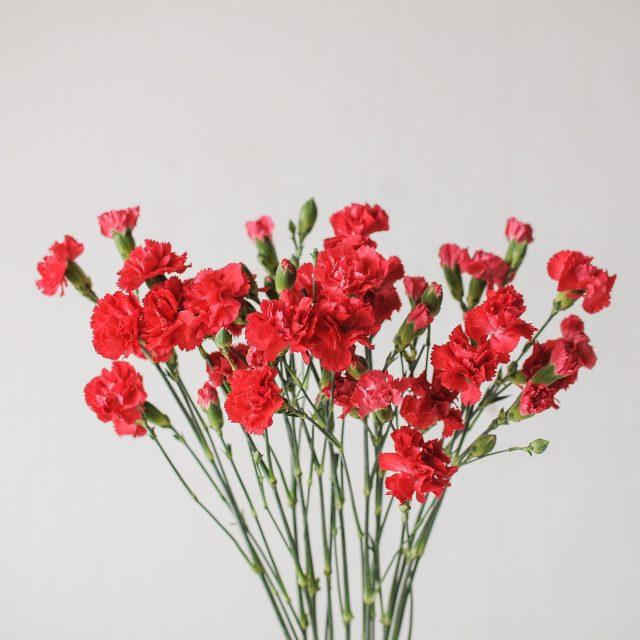 spray carnation- red - 1