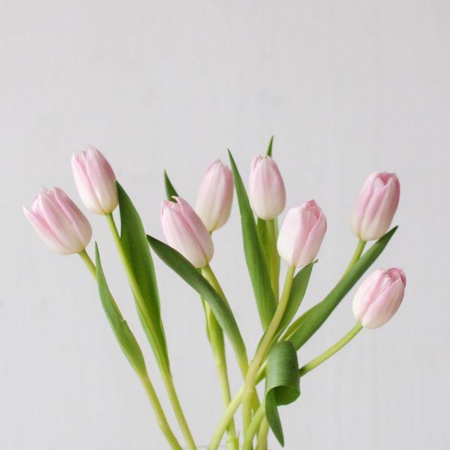 tulip-pink-1