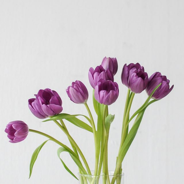 tulip-purple-1