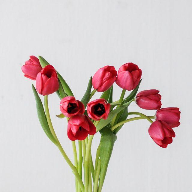 tulip-red-1