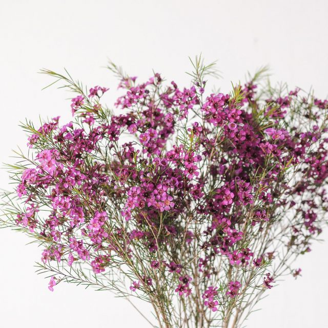 waxflower-largepurple-1