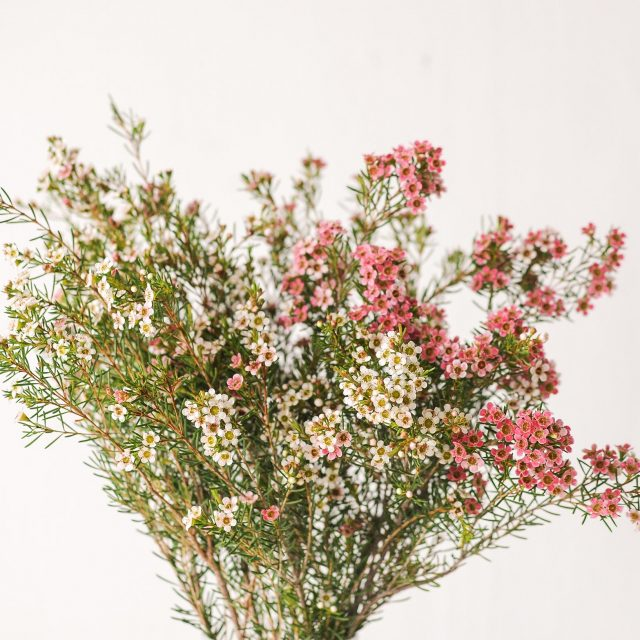 waxflower-smallwhite-1