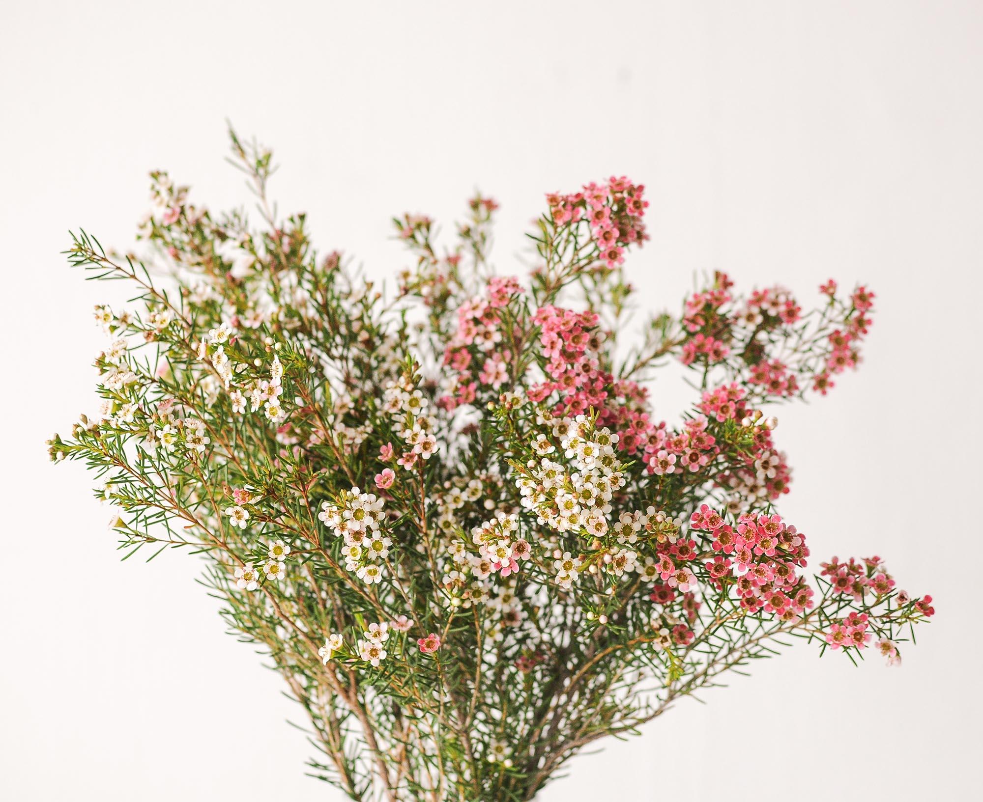 Wax Flowers Wonderland Botanicals