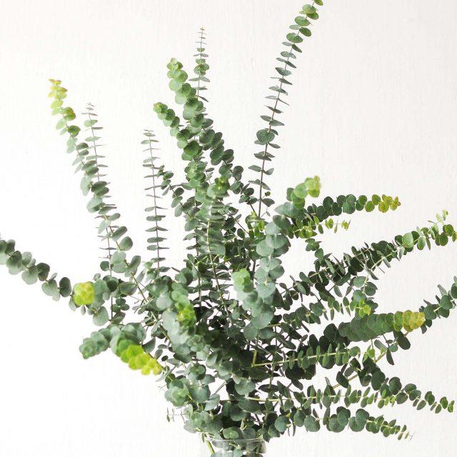 coin eucalyptus 1