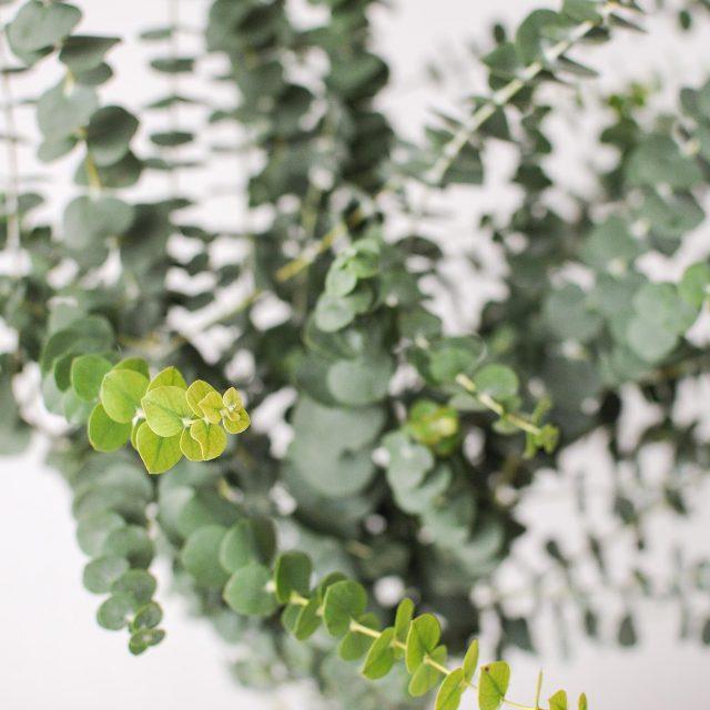 coin eucalyptus 2