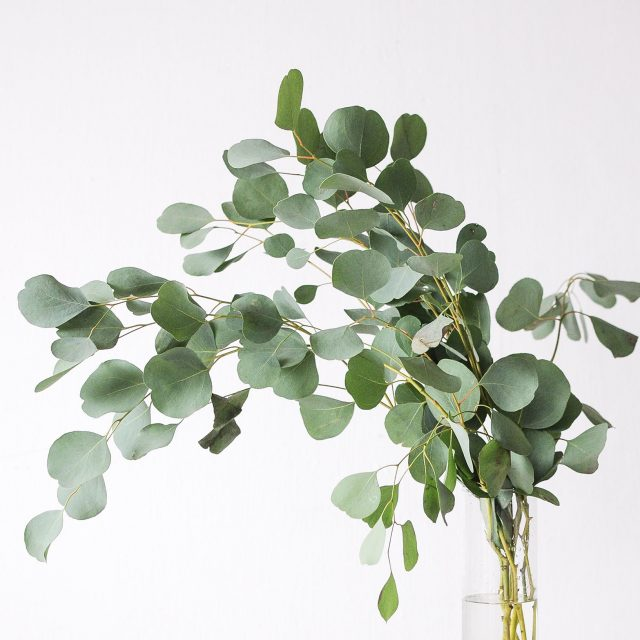 eucalyptus populus 1-1
