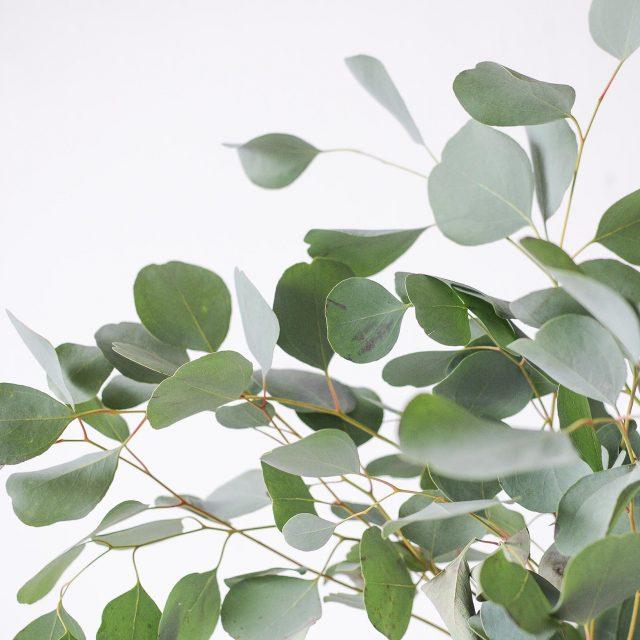 eucalyptus populus 1-2