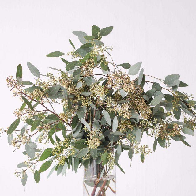 seeded eucalyptus 1