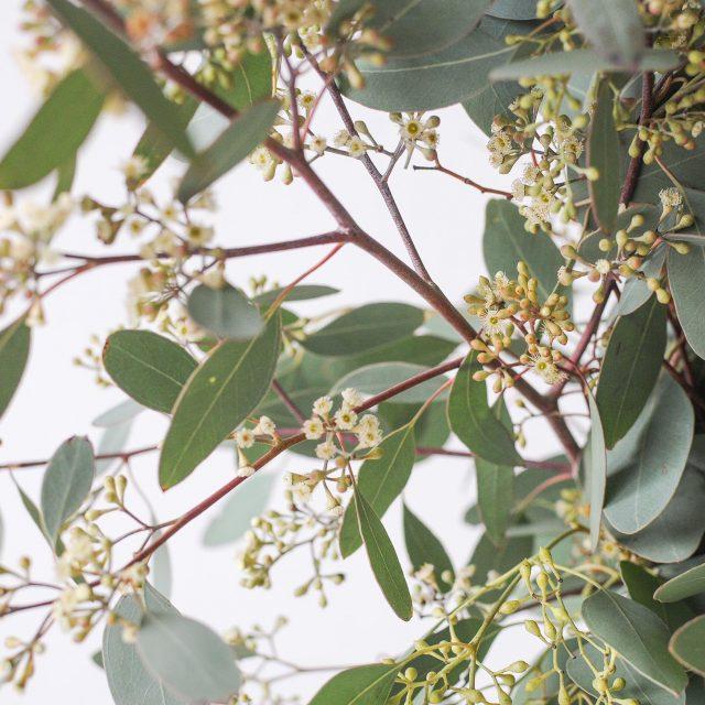 seeded eucalyptus 2